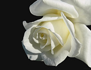 Cream Roses Prints - Ivory Rose Flower on Black Print by Jennie Marie Schell