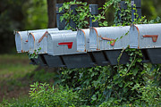 Mailboxes Photos - Ivy Covered Mailboxes by Louise Heusinkveld