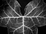 Flora Framed Prints Posters - Ivy Leaf  II - Black And White Macro Nature Photograph Poster by Artecco Fine Art Photography - Photograph by Nadja Drieling