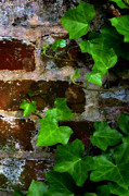 Green Leafs Posters - Ivy on Bricks Poster by Steve Hurt