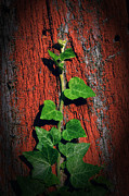 Vine Leaves Framed Prints - Ivy on Red Board Framed Print by Steve Hurt
