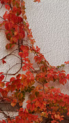 Tendrils Photos - Ivy On Wall-November in Tuscany by Michael Flood