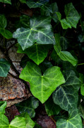 Vine Leaves Posters - Ivy over Rocks Poster by Steve Hurt