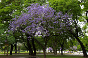 Living Artist Posters - Jacaranda in the Park Poster by John Daly