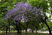 John Daly - Jacaranda in the Park
