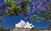 Sydney Opera House Art - Jacaranda spring by Sheila Smart