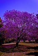 Alma Originals - Jacaranda trees by AMA Studios