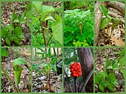 Jack In The Pulpit Posters - Jack-in-the-Pulpit Wildflower    Arisaema triphyllum Poster by Mother Nature