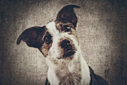 Jack Russell Terrier Posters - Jack Russel Terrier Poster by Angela Doelling AD DESIGN Photo and PhotoArt
