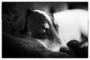 Black Dog Print Posters - Jack Russell Terrier Portrait in Black and White Poster by Natalie Kinnear