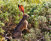 Animal Hunting Prints - Jackrabbit Print by Robert Bales