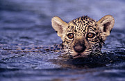 Jaguars Prints - Jaguar Panthera Onca Kitten Swimming Print by SA Team