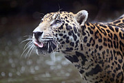 Cats Pyrography Metal Prints - Jaguar Sticking Out Tongue Metal Print by Shoal Hollingsworth