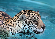Soft Fur Framed Prints - Jaguars Love to Swim Framed Print by Sabrina L Ryan