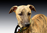 Lurcher Photo Posters - Jake Poster by Linsey Williams
