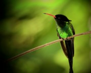 Tropical Bird Prints - Jamaican Hummingbird 2 Print by Marjorie Imbeau