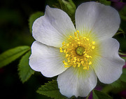 Julie Palencia Photography Photos - Japanese Anemone 2 by Julie Palencia
