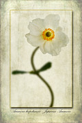 John Edwards - Japanese Anemone