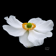 Spa Wall Decor Prints - Japanese Anemone Squared Print by Julie Palencia