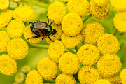 Beatles Photos - Japanese Beetle She Ruv You Ya Ya Ya by Jayne Gohr