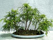 Anne Gordon - Japanese Cedar Bonsai
