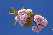 Rosaceae Posters - Japanese Cherry flowering Poster by Matthias Hauser
