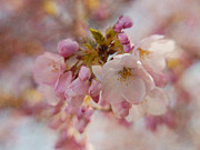 Sakura Prints - Japanese Cherry in Pastel Print by Irina Wardas