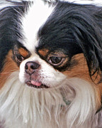 Family Member Posters - Japanese Chin Dog Portrait Poster by Jim Fitzpatrick