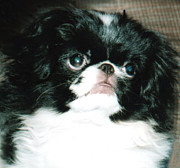 Japanese Chin Puppy Portrait Print by Jim Fitzpatrick