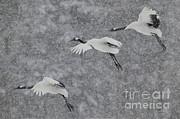 Jean-Louis Klein and Marie-Luce Hubert - Japanese Cranes In Flight