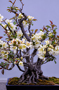 Miniature Photos - Japanese Flowering Bonsai by Julie Palencia