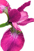 Pink Florals Framed Prints - Japanese Iris Hot Pink White  Framed Print by Jennie Marie Schell