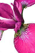 Dark Pink Prints - Japanese Iris Hot Pink White Two Print by Jennie Marie Schell