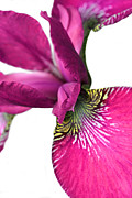 Irises Art - Japanese Iris Pink White Two by Jennie Marie Schell