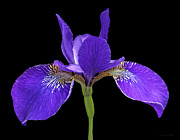 Purple Iris Photos - Japanese Iris Purple Black Three by Jennie Marie Schell
