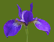 Purple Iris Photos - Japanese Iris Purple Green Three by Jennie Marie Schell