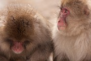 Natural Focal Point Photography - Japanese Macaque in...