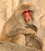 Natural Focal Point Photography - Japanese Macaque with...