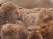 Natural Focal Point Photography - Japanese Macaques in...