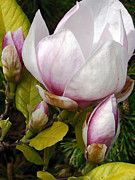 Pamela Patch Posters - Japanese Magnolia  Poster by Pamela Patch