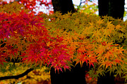 Hisao Mogi - Japanese Maple - Fall...