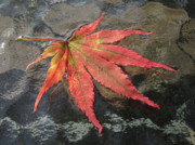 Addie Hocynec Art Photos - Japanese Maple Leaf by Addie Hocynec