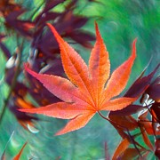 Bernhart Hochleitner Metal Prints - Japanese Maple Leaf Metal Print by Bernhart Hochleitner
