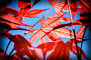 Susan Edens - Japanese Maple
