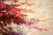 Jenny Rainbow - Japanese Maple with Brick Wall