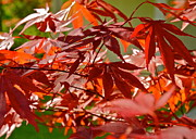 Kirsten Giving Prints - Japanese Red Leaf Maple Print by Kirsten Giving