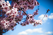 Prescott Arizona Prints - Japanese Sakura Print by Anthony Citro