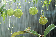 Tree Frog Prints - Japanese Tree Frog on Balloon Vine Print by Shinji Kusano