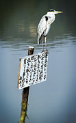 Great Heron Photos - Japanese Waterfowl - Kyoto Japan by Daniel Hagerman