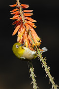 Japanese White Eye Posters - Japanese White-eye on Agave Flower 2 Poster by Avian Resources